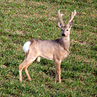 КАСУЛЯ. Красивейшее животное в семействе оленей. Движения ее легки и неуловимы.