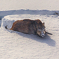 КАБАНЫ. Это весьма крупный и опасный зверь, осторожный, но не трусливый. Держатся стадами, активны ночью.