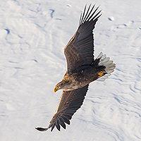 ОРЛАН БЕЛОХВОСТЫЙ. Одна из самых крупных хищных птиц. Распространен широко от южных границ до лесотундры и тундры.