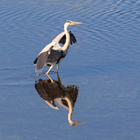ЦАПЛИ. Они грациозны и красивы, живут вдоль заболоченных территорий. Очень осторожная птица.