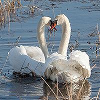 ЛЕБЕДИ. Эти белоснежные птицы, во все времена привлекали людей своей строгой красотой.